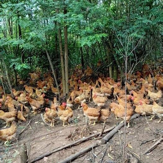 廣西壯族自治區玉林市博白縣土雞 2-3斤 母