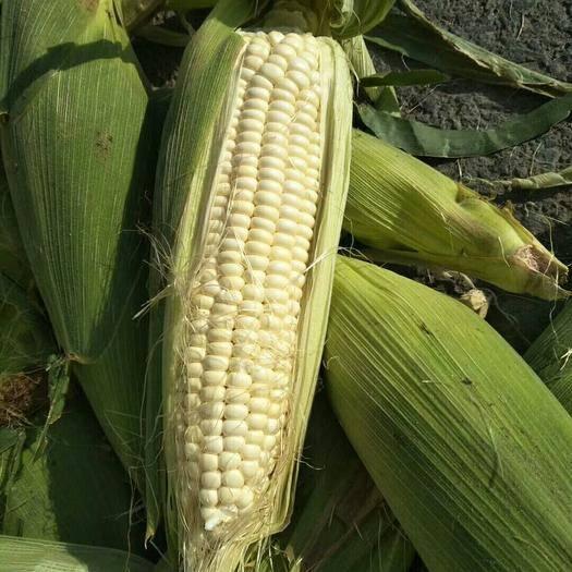 遼寧省鞍山市海城市 鮮玉米下來啦