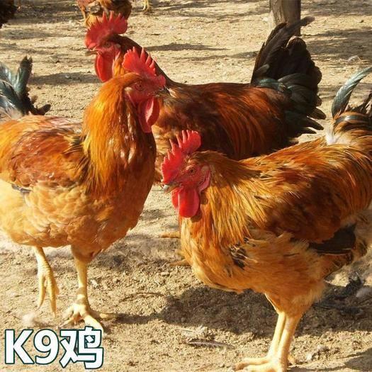 廣西壯族自治區南寧市西鄉塘區 k9雞苗