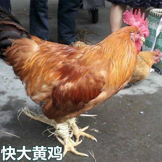 廣西壯族自治區南寧市西鄉塘區 快大黃雞苗