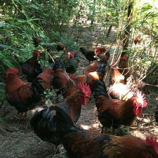 湖北省恩施土家族苗族自治州利川市土雞 還是這林子里最涼快哦!