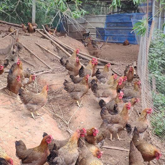 廣東省佛山市南海區清遠麻雞 3-4斤 母