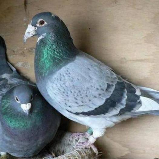 山東省濱州市鄒平縣肉鴿 肉食鴿400-500克,滋補燉湯農家散養土鴿