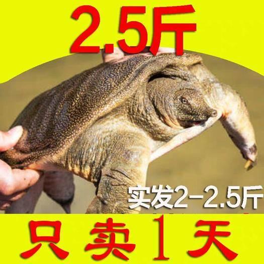 江蘇省南京市六合區 2斤大甲魚活體包郵農家散養青黑老鱉王八水魚團魚中華鱉無
