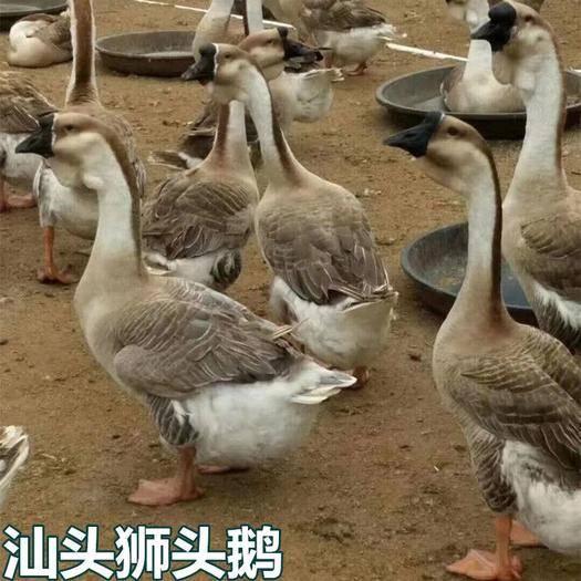廣西壯族自治區南寧市西鄉塘區 汕頭獅頭鵝苗