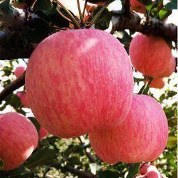陕西红富士嘎啦苹果一件代发  水果商超批发  对接平台包邮