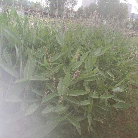 河南省駐馬店市確山縣再力花種子 水生植物再力花產新預售