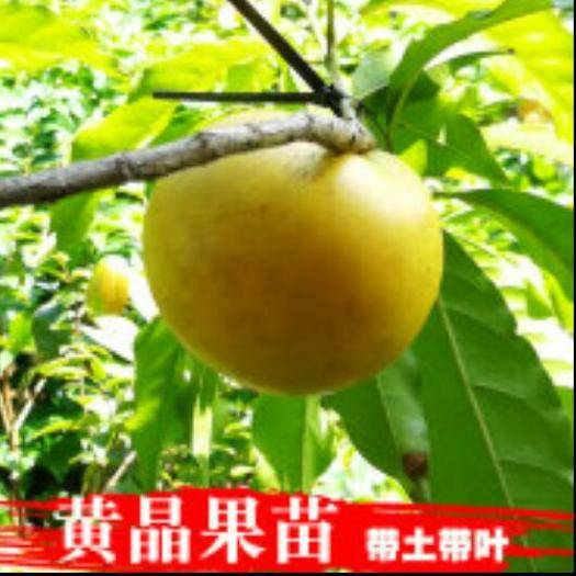 廣西壯族自治區崇左市龍州縣 黃晶果苗
