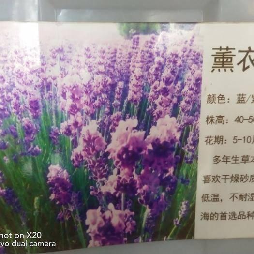 江蘇省常州市武進區 薰衣草種子!藍!紫!粉!混色