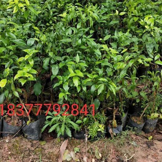 广西壮族自治区钦州市灵山县 沃柑苗大量有货