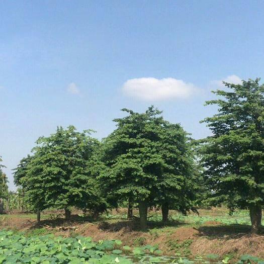 廣東省惠州市博羅縣大腹木棉 出售精品大福40一70分數量5000棵高6至12米