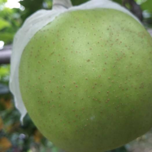 安徽省宿州市碭山縣 各種梨子貨源充足,