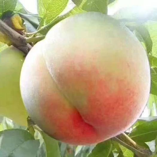 江蘇省無錫市惠山區 水蜜桃中的白富美,色澤粉嫩,皮如蟬翼,汁水甜美,桃香四溢。