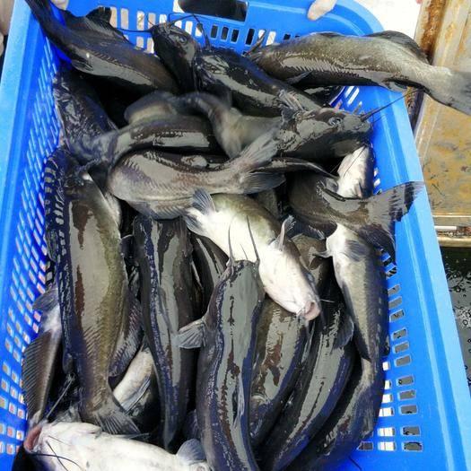 广西壮族自治区来宾市武宣县斑点叉尾鮰鱼 大型水库网箱养殖