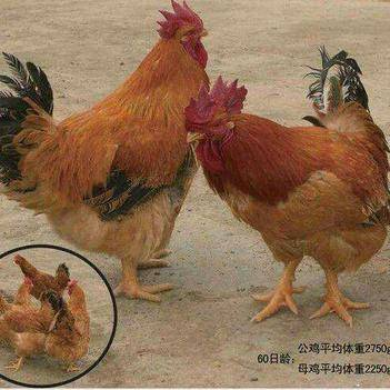 k9肉鸡麻黄鸡苗,料比低、生长快,品种优良,是一种大型肉鸡