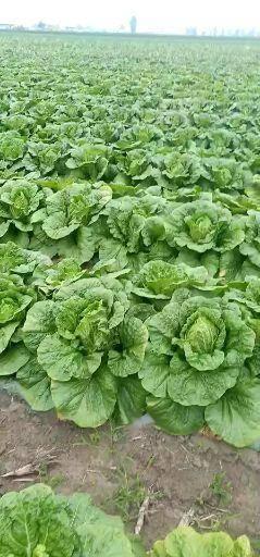 吉林省四平市公主岭市 优质大白菜100000斤