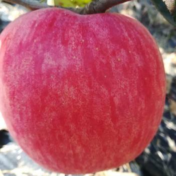 靈寶高山脆甜自然無污染紅富士好吃大蘋果