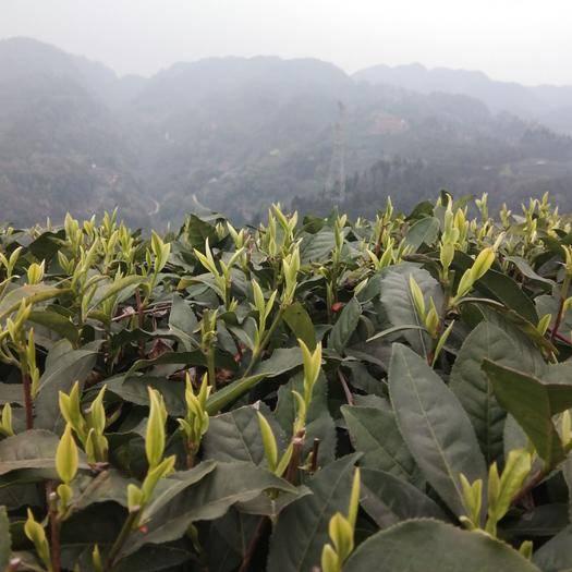 四川省雅安市名山区高山绿茶 特级 袋装