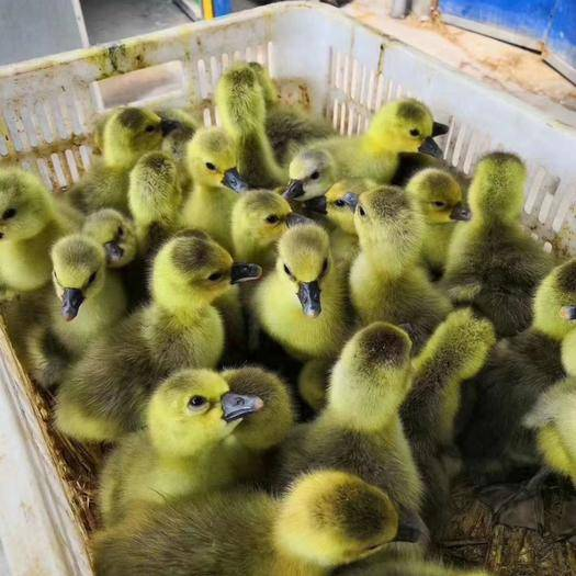 山东省菏泽市郓城县 出售各种鹅苗,。你养殖我回收,需要养殖的联系