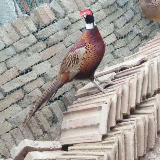 河南省开封市龙亭区七彩山鸡 原生态散养野鸡,肉质紧实鲜美