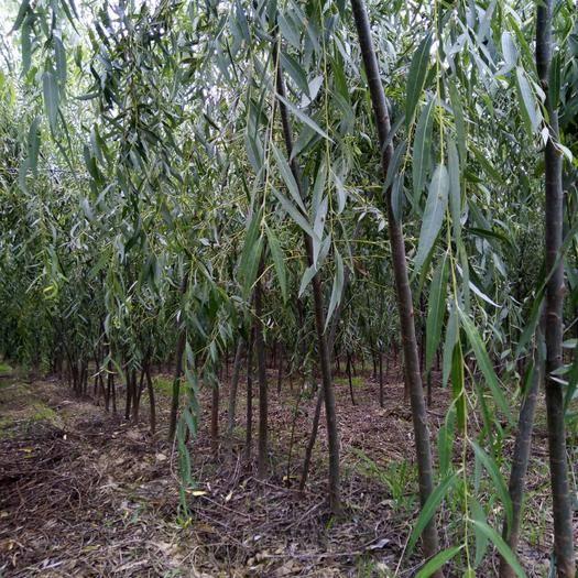 陕西省渭南市大荔县 西湖垂柳2~2.5公分产地直销,保质保量,可随时考察上货