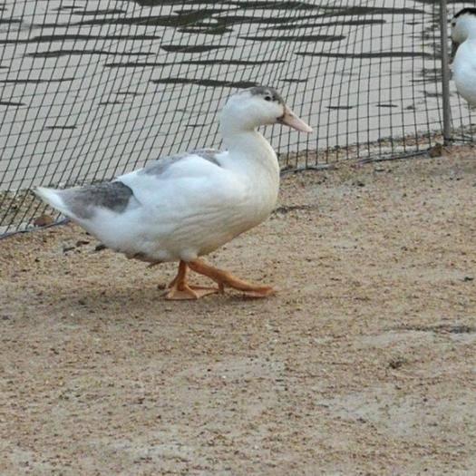 广东省清远市英德市 大量成品泥鸭