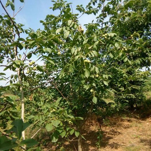 湖北省十堰市丹江口市鲜核桃 绿色无污染,新鲜可口。