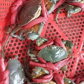 青蟹 纯海水养殖,喂食杂鱼肉质肥甜。