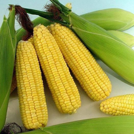 陕西省咸阳市泾阳县甜玉米 产地直销,量大从优,量小支持快递,量大走物流,精诚合作!