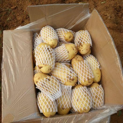 山东省泰安市肥城市 肥城土豆种植20多年的历史,颜色鲜亮,黄皮黄肉,口感好。