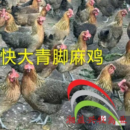 广东省广州市白云区青脚麻鸡苗 新广大种青脚麻鸡