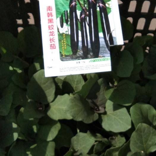 吉林省长春市双阳区线茄 批发各种秧苗嫁接秧苗提前3个月预定