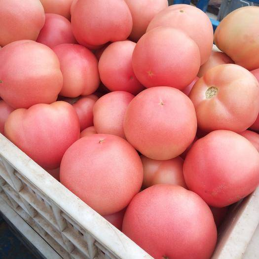 山东省聊城市东昌府区 万亩基地供西红柿