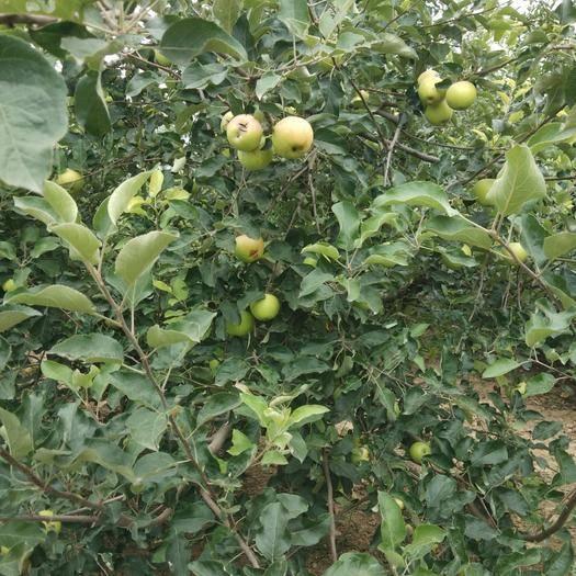 河南省开封市通许县青苹果 65mm以上 翠绿 光果