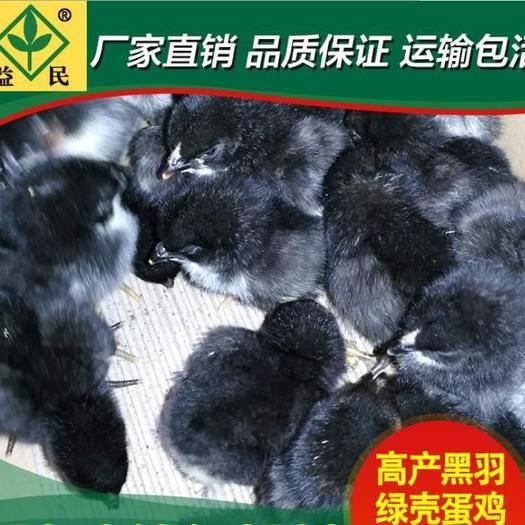 湖南省衡阳市蒸湘区绿壳蛋鸡苗 绿壳蛋鸡鸡脱温苗