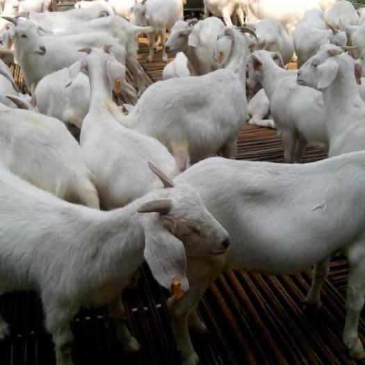 山东省菏泽市郓城县 大白山羊 品质保证 量大从优 老百姓的养殖场