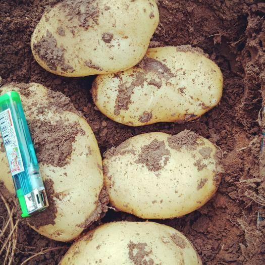 辽宁省锦州市凌海市 黑土地,和黄土地的土豆,都是何兰十五,欢迎各地客商前来采购