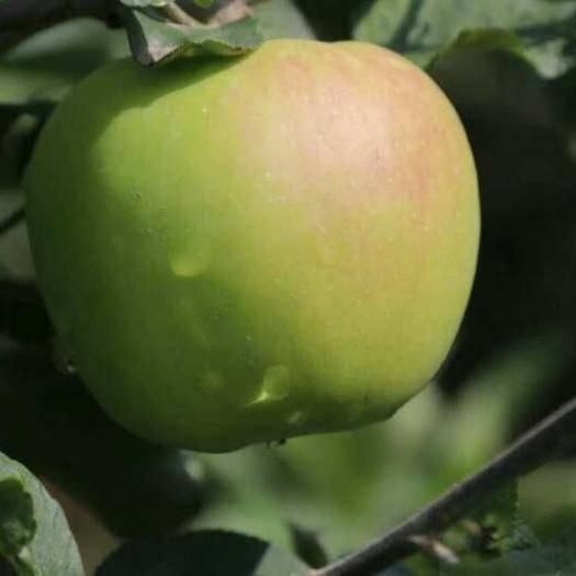 陕西省西安市雁塔区 特价青苹果