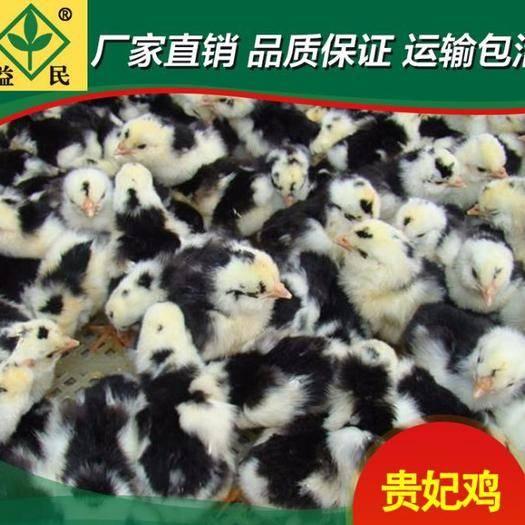 湖南省衡阳市蒸湘区 贵妃鸡苗 包运输包出厂疫苗包运输成活保质保量