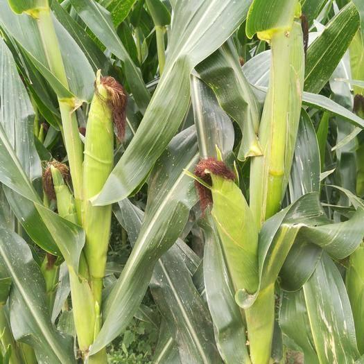 山东省聊城市东阿县 自家9亩多鲜玉米