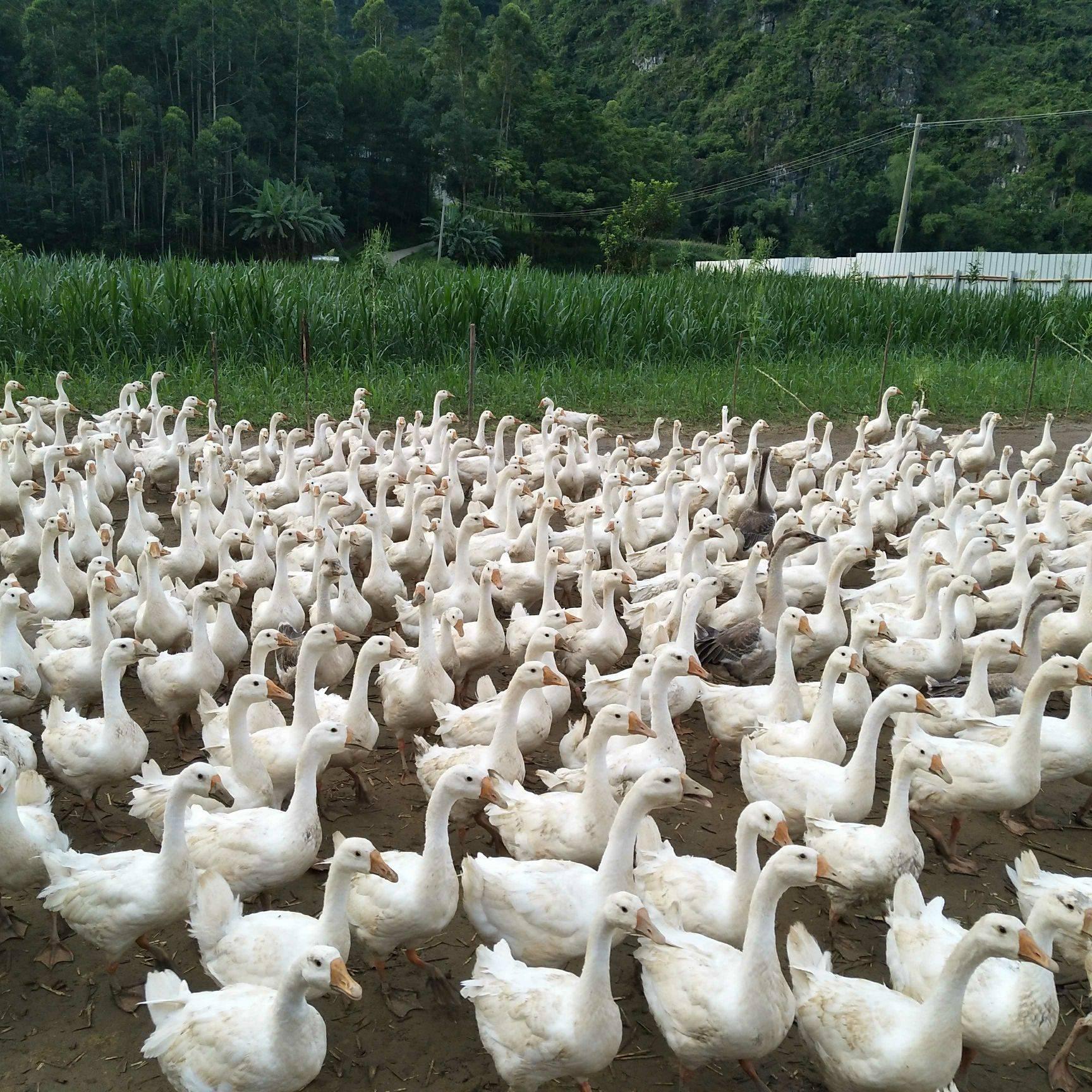 [肉鹅批发] 青饲料鹅,喂草长大的鹅,肉质杠杠的,150天的鹅,89斤价格13元/斤