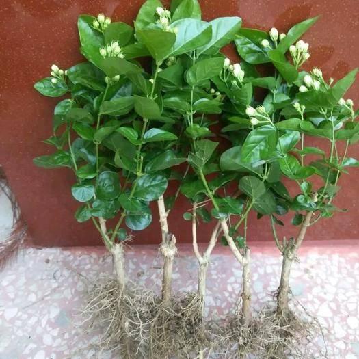 江苏省南京市栖霞区 茉莉花苗1.6元一棵包成活 带花苞