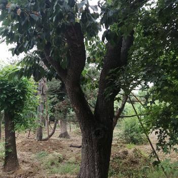 柿子树接穗 柿子树,大量现货,各种型号都有欢迎来订购。