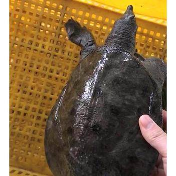 大甲鱼活体包邮生态王八中华海鲜老鳖苗团水鱼特产滋补品