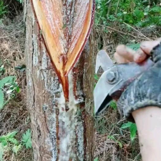 广东省清远市英德市松香 自家松树林自产松脂100吨