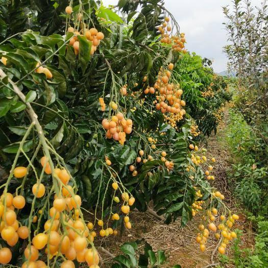 廣西壯族自治區南寧市武鳴區 限量精品無籽黃皮果上市
