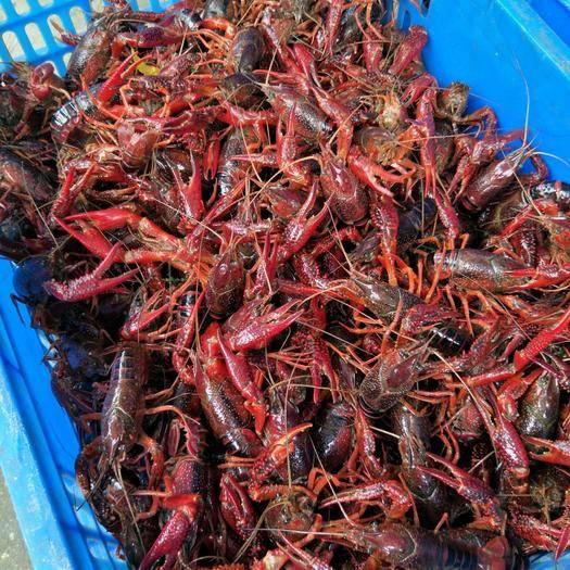 洪湖小龙虾    红壳小龙虾     中红4-6钱 硬规格
