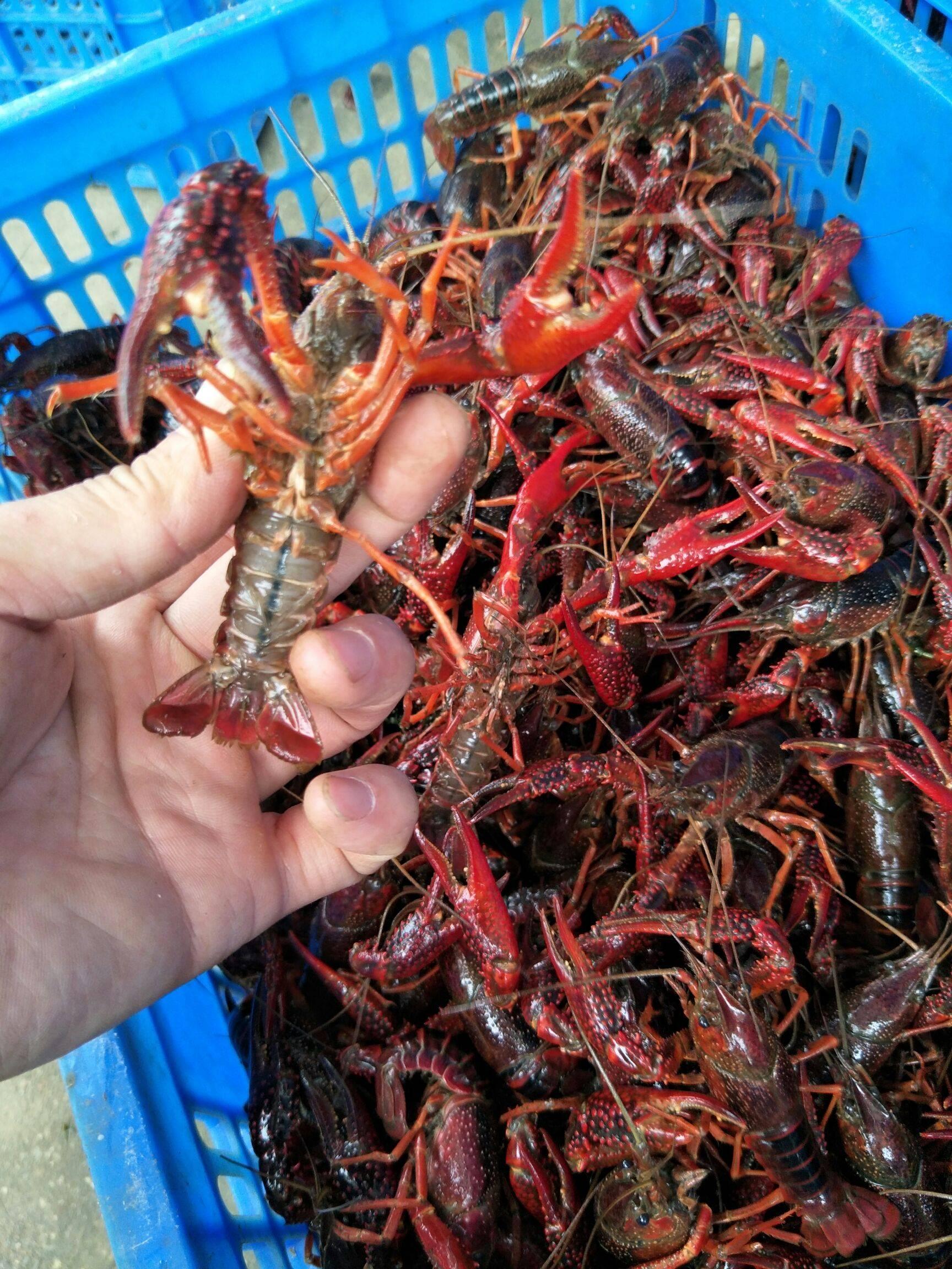 洪湖小龍蝦    紅殼小龍蝦     中紅4-6錢 硬規格