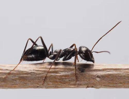 吉林省白山市撫松縣 .黑螞蟻的 骨痛人群,、類風炎、肩周炎