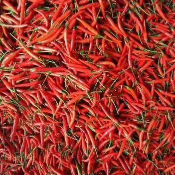 小米椒 艳红已大量上市,品种全,质量好,价格低欢迎新老客户前来采购!